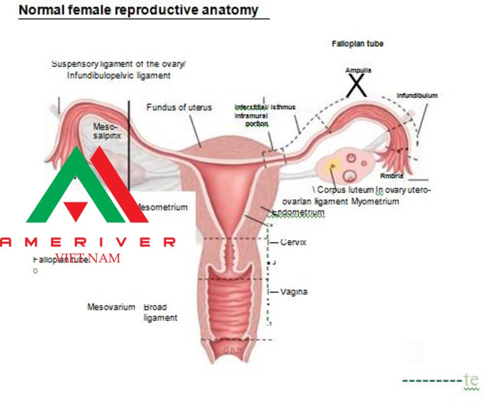 Normal female reproductive anatomy